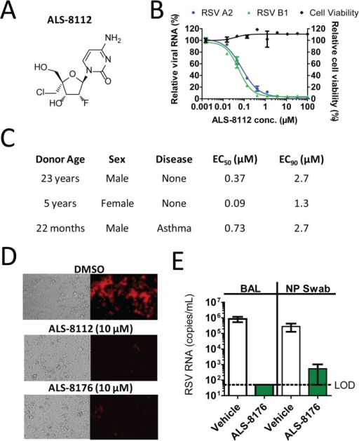 Inhibition of RSV replication by ALS-8112 and ALS-8176.(A) Chemical structure of 2'-fluoro-4'-chloromethyl (2'F-4'ClCH2) cytidine, or ALS-8112. (B) In vitro inhibition potency of ALS-8112 against the RSV A2 and B1 strains grown in HEp-2 cells. The viral RNA level was measured by qRT-PCR, and reported as percentage of the uninhibited condition (n = 3). The effect of ALS-8112 on the viability of human epithelial HEp-2 cells was also evaluated. The highest concentration of ALS-8112 used to measure the concentration resulting in 50% cytotoxicity (CC50) was 100 μM (n = 3). (C) In vitro efficacy of ALS-8112 in a three-dimensional lung model. Primary human tracheal/bronchial epithelial cells from three individual human donors were infected on the apical side with the RSV A2 strain, while increasing concentrations of ALS-8112 were added to the basal medium. (D) Fluorescence microphotographs of HEp-2 cells infected with recombinant RSV-mKate2, in the presence of DMSO, 10 μM ALS-8112, or 10 μM ALS-8176. (E) African Green monkey efficacy model. ALS-8176 was administered BID for a total of 6 days. At the end of treatment (Day 5 post-infection), RSV RNA titers were measured in bronchoalveolar lavage (BAL) and nasopharyngeal (NP) swab samples for each group (vehicle and drug) containing four animals. Limit of detection (LOD) for qRT-PCR analysis was 50 copies/mL (dashed line).