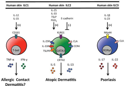Regulation and function of human skin ILC responsesHuman skin ILC1s express CD161 and would be predicted to be activated by IL-12 and IL-15 and produce the effector cytokines TNF-α and IFN-γ. Human skin ILC2s express KLRG1, CLA, CCR4, IL-25R (IL-17Rb), IL-33R (ST2), CRTH2 and TSLPR. In response to IL-25, IL-33 and/or TSLP they produce effector cytokines IL-5 and IL-13 and have been implicated in atopic dermatitis. Human skin ILC2s also migrate in response to PGD2. Human skin ILC3s express NKp44 and CLA, produce IL-17 and IL-22 in response to IL-1β and IL-23 and have been implicated in psoriasis.