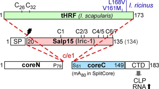 Primary sequence features of tick saliva proteins to be presented on HBc CLPs.Numbers refer to amino acid positions; the bars are drawn to scale. Amino acid exchanges in I. ricinus versus I. scapularis tHRF are indicated in blue. Salp15 and Iric-1 differ by one aa in length. In ticks, both are produced as precursors carrying a cleavable N terminal signal sequence (SP; cleavage site indicated by the lightning symbol) which was deleted in the constructs used here. The seven Cys residues are consecutively labeled C1, C2 and so forth, with the marks indicating their positions. For contiguous chain HBc fusion constructs the heterologous sequences were inserted, via short linkers, between P79 and S81; for separate expression of core N and coreC in the SplitCore system, the coreC segment starting with A80 was provided with an artificial methionine start codon (m). HBc183 constructs comprise the CTD that mediates efficient encapsidation of bacterial RNA.
