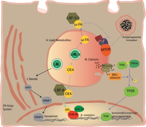 Long-range signals from the lysosome coordinate nutrient homeostasis. The lysosome generates signals that travel to activate cell autonomous or systemic responses that promote nutrient homeostasis. Some of these signaling pathways are depicted here: I. Cholesterol uptake and synthesis is controlled from the lysosome. Cholesterol is taken up and processed by the lysosomal system. When the lysosome releases enough cholesterol, the transcription factor SREBF/SREBP is in the ER. By contrast, low cholesterol promotes SREBF trafficking from the ER to the Golgi (not shown), and then to the nucleus where it transcribes genes involved in lipid uptake and biosynthesis.110 II. Lysosome fatty-acid derivatives distally control autophagy and the transcription of β-oxidation genes. In C. elegans, fasting leads to increased lysosomal lipase activity (LIPL-4).112 Increased LIPL-4 activity is capable of: 1) generating lipid signals including ω-3 and ω-6 polyunsaturated fatty acids (ω-FA) and oleoylethanolamide (OEA),80,112 2) inhibiting LET-363/MTOR,113 3) activating autophagy,112,113 and 4) inducing β-oxidation and other metabolic genes through NHR-49 and NHR-80.80 ω-3 and ω-6 polyunsaturated fatty acids are transported to distant tissues by LBP-3 and LBP-5, and OEA is transported to the nucleus by LBP-8. Green arrows indicate unconfirmed activation during fasting conditions. Dotted lines illustrate likely pathways that have not been directly tested (intermediate steps are likely). III. Lysosomal calcium activates lysosomal biogenesis and autophagy. Starvation triggers calcium release from the lysosome through the MCOLN1 channel. Calcium then activates the phosphatase PPP3/calcineurin, which dephosphorylates TFEB promoting its translocation to the nucleus where it transcribes genes involved in lysosomal biogenesis and autophagy.116 LAL, lysosomal acid lipases.