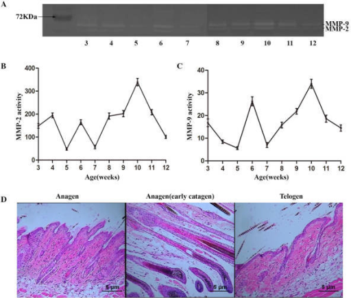 MMP-2 and MMP-9 activity at each stage of the mouse hair cycle. (A) Gelatin zymography of MMP-2 and MMP-9 activity; quantification of (B) MMP-2 and (C) MMP-9 activity; and (D) immunohistochemical analysis of skin samples at anagen (4 weeks), early catagen (6 weeks) and telogen (10 weeks) phases, stained with hematoxylin and eosin (scale bar, 0.1 mm). MMP, matrix metalloproteinase.