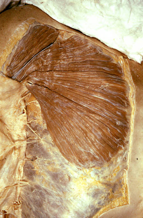 pectoralis major muscle; deltoid muscle
