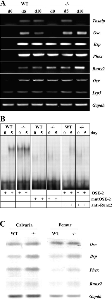 Premature expression of osteoblast differentiation markers in Sox8-deficient osteoblasts. (A) RT-PCR expression analysis of primary osteoblast cultures from wild-type (WT) and Sox8-deficient (−/−) mice at d0, d5, and d10 of differentiation. Note the premature expression of Bsp, Phex, Runx2, and Osx in Sox8-deficient cultures. Tnsalp (tissue nonspecific alkaline phosphatase), Osc (osteocalcin), Bsp (bone sialoprotein), Phex (phosphate-regulating gene with homologies to endopeptidases located on the X-chromosome), Runx2 (runt-related transcription factor 2), Osx (osterix), Lrp5 (low density lipoprotein receptor-related protein 5), Gapdh (Glycerinaldehydephosphate dehydrogenase). (B) Analysis of Runx2 DNA-binding activity. An electrophoretic mobility shift assay using the Runx2-binding site (OSE-2; Ducy et al., 1997) reveals the presence of Runx2 in nuclear extracts from nondifferentiated Sox8-deficient osteoblasts, but not from wild-type osteoblasts (d0). Binding was not observed with a mutated binding site (mutOSE-2) or in the presence of an anti–Runx2-antibody. (C) Analysis of osteoblast differentiation markers in vivo. A Northern blot expression analysis using calvaria and femur RNA from wild-type and Sox8-deficient mice at 6 wk old reveals an elevated expression of Osc, Bsp, Phex, and Runx2 in the absence of Sox8.