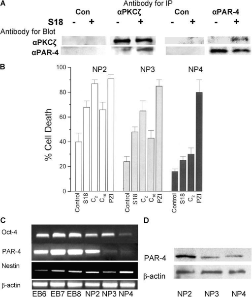 S18-induced formation of a PAR-4–PKCζ complex and PAR-4 dependent apoptosis. (A) EBCs (NP2 stage) were incubated overnight with or without 80 μM of S18. Cellular protein was solubilized and antigen–antibody complexes were immunoprecipitated, followed by SDS-PAGE and immunoblotting. (B) EBCs (NP2, 3, and 4 stages) were incubated with various ceramide-like apoptosis inducers and the degree of apoptosis was quantified by counting of cells with activated caspases (FLICA assay). All results were from three independent experiments showing average values and SEMs of cell counts from five areas with more than 100 cells. Treated cells show statistically significant differences to nontreated control cells as evaluated by ANOVA. C2, N-acetyl sphingosine (30 μM); C16, N-palmitoyl sphingosine (2 μM, incubated in solution with dodecanol as described in Bieberich et al., 2003); PZI, myristoylated PKCζ pseudosubstrate inhibitor peptide (30 μM). Open bars, NP2 stage (24 h after replating of EBCs); gray bars, NP3 stage (48 h after replating of EBCs); black bars, NP4 stage (72 h after replating of EBCs). (C and D) The level of Oct-4, PAR-4, and nestin gene expression was determined by RT-PCR during differentiation of EBCs from mouse. The expression level of PAR-4 protein was determined by immunoblotting using a mouse monoclonal anti–PAR-4 antibody. EB6, 7, and 8 are EBs 48, 72, and 96 h after attachment of suspension EBs; NP stages as in B.