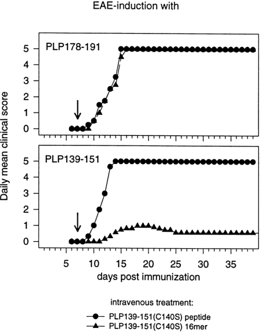 Specificity of EAE suppression by intravenous injections of PLP139–151(C140S) 16-mers. SJL/J mice received intravenous injections of 50 μg PLP139–151(C140S) peptide or PLP139–151(C140S) 16-mer 7 d after the induction of the disease by the subcutaneous injection of 50 μg PLP178–191(C183S) (top) or PLP139–151(C140S) peptide (bottom). Groups of six mice were used for the experiment. The incidence rates were determined as 6/6 (peptide) and 6/6 (16-mer) for the groups immunized with the PLP178–191(C183S) peptide and as 6/6 (peptide) and 4/6 (16-mer) for the groups immunized with the PLP139–151(C140S) peptide.