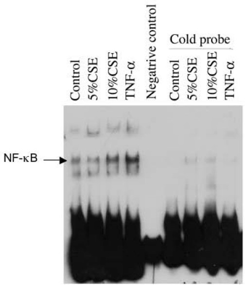 Effect of cigarette smoke on NF-κB and DNA binding. Cells were exposed to 0, 5 and 10% CSE or TNF-a (10 ng/ml) for 30 minutes in LHC-D/RPMI medium. Nuclear proteins were extracted and subjected for EMSA as described in the methods. Data presented are one representative of 3 separate experiments with similar results.