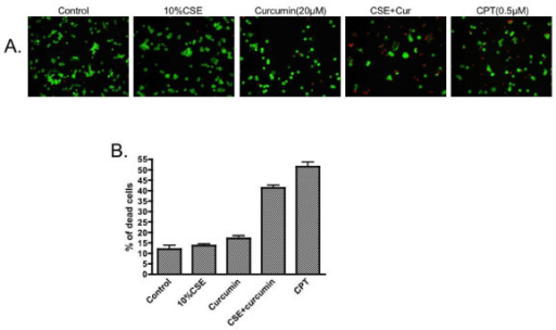 Effect of NF-κB inhibitor on the viability of HBEC exposed to cigarette smoke extract. Cells were pre-treated with 20 μM curcumin for 30 minutes followed by exposure to 10% cigarette smoke extract for 24 hours in the presence or absence of curcumin. Cell viability and cytotoxicity were determined by LIVE/DEAD assay. Panel A: One representative micro-photograph of LIVE/DEAD staining. Green: live cells; Red: dead cells. Magnification: 200×. Panel B: Quantitative data from 3 separate experiments. Vertical axis: percent of dead cells = red cells/(green cells + read cells) * 100%. Horizontal axis: treatment.