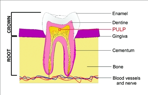 The human dental pulp contains a population of putative post-natal stem cells or dental pulp stem cells (DPSCs) with multipotential capabilities. After severe injury, the dental pulp stem cell niche may play a critical role in reparative dentine formation of the tooth.