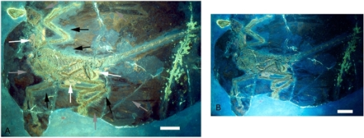 The holotype of Microraptor gui, IVPP V 13352 under UV light.Different filters were employed for parts A and B, hence the difference in colour and appearance. A also is labeled to indicate the preserved feathers (grey arrows) and the 'halo' around the specimen where they appear to be absent (black arrows) as well as phosphatised tissues (white arrows). Scale bars are 5 cm in both A and B.