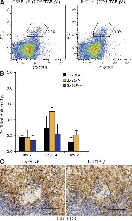 IL-21 is not essential for Tfh cell development. (A) Representative flow cytometry gating for identifying Tfh cells among splenocytes. CD4+TCR-β+ cells were assessed for expression of PD1 and CXCR5 to resolve Tfh cells in C57BL/6 and IL-21−/− mice. Percentages are of the CD4+TCR-β+ population. (B) Frequency of Tfh cells (CD4+TCR-β+PD1+CXCR5+) in C57BL/6, IL-21−/−, and IL-21R−/− mice at times indicated after immunization. Values are mean frequency of two to six mice per time point from at least two experiments and error bars are ± SD. (C) Immunohistochemical staining of CD3+ cells (blue) in the GCs of the spleens from day 14 immunized C57BL/6 and IL-21R−/− mice. The example shown is representative of at least four mice from two experiments for each genotype. B cell follicles were revealed with IgD (brown). Bars, 100 µm.