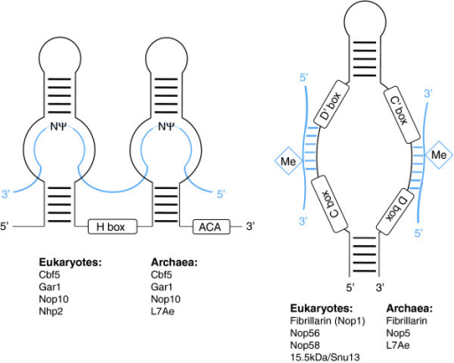 snoRNA structure. The structure of a H/ACA snoRNA (left) and a C/D box snoRNA (right). The targets for RNA modification are shown in blue. The most important snoRNA-associated proteins are listed below.