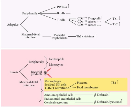 Summary of the adaptive and innate immune system in pregnancy. Mediators of the adaptive and innate immune system work in parallel to facilitate a balance between immune tolerance of the fetus whilst maintaining the ability to mount a response against invading pathogens. PWBC: peripheral white blood cells.