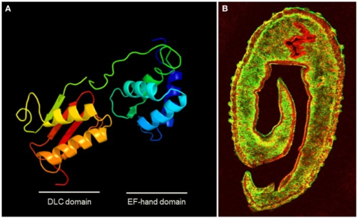 (A) Homology modeling of the structure of the dominant SmTAL1 allergen in S. mansoni generated using protein homology/analogy recognition engine 2 (PHYRE2) (132), showing the two helix-loop-helix Ca2+-binding motifs within the EF-hand domain. (B) Transverse section of male S. mansoni worm stained for the surface protein SmCD59 (green) and under that in the tegument layer, the EF-hand protein SmTAL1 (red) (courtesy of Prof. Alan Wilson University of York). The walls of the gut also stain for SmTAL1. The location illustrates how this sub-surface allergen in inaccessible to host IgE, unless the tegument layer is damaged, but its physiological function and role in host protection remain to be elucidated.