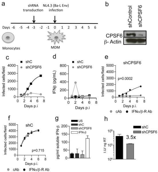 HIV-1 elicits a Type-1 IFN response that restricts replication in CPSF6 depleted MDM(a) Protocol schema. (b) CPSF6/actin detected at time of infection (c). HIV-1 replication in MDM expressing shRNA targeting CPSF6 or control shRNA (d) IFN-β levels in supernatants from (c). (e-f) Infection of CPSF6 depleted or MDM expressing control shRNA with IFNAR2 or control antibody (cAb). P values (2-way ANOVA) are given for the effect of (e) CPSF6 depletion or (f) control shRNA on biological replicates. (g) IFN-β produced from shRNA expressing MDM or IFN-β treated MDM. (h) Infection of MDM by HIV-1 measured at 48h on CPSF6 depleted or control shRNA expressing MDM (Mean of 3 technical replicates ±SEM).