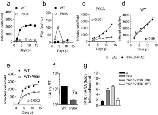 HIV-1 CypA binding mutant CA P90A is restricted in MDM due to induction of Type-I IFN(a) Replication of WT HIV-1 or CA mutant P90A in MDM. (b) IFN-β levels in supernatants from (a). (c) Replication of HIV-1 CA P90A with IFNAR2 or control antibody (cAb). (d) as in Figure 1d. (e) Replication of WT or WT plus CA P90A. Mean data and regression lines are shown for biological replicates in c-e. P values (2-way ANOVA) are given for (c-d) IFNAR2 blockade and (e) co-infection with CA mutant P90A. (f) Infection of MDM by HIV-1 measured at 48h (g) GAPDH normalized IP10 RNA levels expressed as fold change over untreated cells after infection with WT or HIV-1 mutants (Mean of 3 technical replicates ±SEM, f-g).
