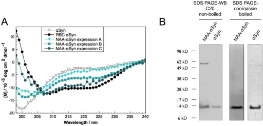 "Variability in the folding of purified recombinant NAA-αS under non-denaturing conditions.A: CD spectroscopy of bacterially expressed and purified NAA-αS and αS under non-denaturing conditions. No variability in the secondary structure was seen with unmodified αS. In contrast, NAA-αS showed batch-to-batch variability in folding of the obtained preps. B: SDS-PAGE Western blot and Coomassie stain of αS and NAA-αS (""expression C""). The samples were not boiled in SDS-sample buffer before gel loading for Western blotting. The NAA-αS banding pattern indicates some SDS-stable tetrameric protein present in the sample, while no higher bands could be detected in non-acetylated αS. For coomassie staining, the samples were boiled in sample buffer, leading to a single stainable band at 14 kDa, indicative of the high purity of the sample."