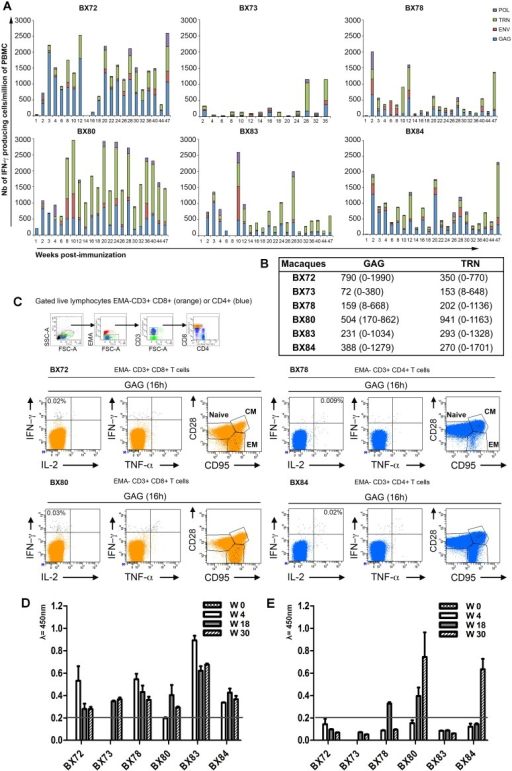 "Evaluation and characterization of immediate effector T cell responses induced by a single immunization with the CAL-SHIV-IN− DNA vaccine.A) PBMCs isolated from blood samples taken at the indicated weeks post-immunization (PI) were used for ELISPOT assay to detect IFN-γ producing cells in response to the pools of SIV Gag (indicated in blue), HIV Env (indicated in red), HIV Tat+Rev+ SIV Nef (TRN, indicated in green) and SIV Pol (indicated in purple) peptides. Numbers of IFN-γ producing cells obtained per million of PBMCs against all Ags tested are indicated in the y-axis. B) Mean and range of IFN-γ ELISPOT responses to Gag and TRN pools across 22 (for BX72, 78, 80, 83, 84) and 14 (for BX73) time-points collected. C) Memory phenotyping of Gag-specific T cells at W8 PI. PBMCs were restimulated for 16 h in presence or absence of Gag pool of peptides in medium containing Brefeldin A. Cells were then surface stained with EMA, CD3, CD8, CD4, CD28, CD95 mAbs, permeabilized and stained with IFN-γ, IL-2 and TNF-α mAbs. For analysis, cells were initially gated on live lymphocytes (low FSC/SSC, EMA-, CD3+), CD8 bright T cells (orange color) and CD4+ T cell populations (blue color). Antigen-specific T cells were identified by their capacity to secrete one or more cytokines (black dots). For each indicated animal (BX72, 78, 80, 84), we displayed the maximal response obtained at this time point within CD8+ or CD4+ T cell populations. For simplicity, the percentage of total responses (total black dots) obtained through all quadrants (IFN-γ+, IFN-γ+ &TNF-α+, IFN-γ+&IL-2+ and IL-2+) are indicated after the subtraction of background obtained with cells cultured with medium only. For memory T cell subset determinations, all black dots were superimposed to the total CD8+ or CD4+ T cell populations and plotted against memory markers (CD28 and CD95). The naïve population was defined as CD28+ CD95−, effector memory (EM) as CD28− CD95+ and central memory (CM) as CD28+ CD95+. D) Sequential evaluation of SIV Gag p55 specific antibody responses in immunized macaques (""homemade kit""). E) Sequential evaluation of HIV Env gp160 specific antibody responses in immunized macaques (Biorad, France)."