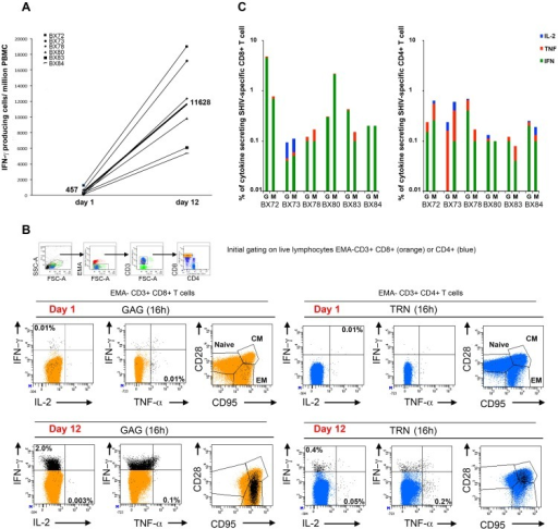 Vaccine-specific PHPC T cell responses at late time points post-immunization.A) PBMCs were isolated from blood samples taken between W40 and W47 PI for all animals (W28 to 35 PI for BX73). A portion of cells from each animal was used for ELISPOT assay to detect IFN-γ producing cells in response to medium, Gag and TRN pools of peptides (day 1). The other portion was cultured for 11 days in the presence or absence of relevant peptide pools, in medium supplemented on day 3 with recombinant simian IL-2 only and on day 7 with recombinant simian IL-2, IL-15 and IL-7 cytokines. On day 11, cells were collected, counted and used for ELISPOT assay using the same conditions as day 1 ELISPOT, to detect IFN-γ producing cells in response to Gag and TRN peptides (day 12). This assay is referred as PHPC assay for memory precursors with high proliferative capacity. Numbers of IFN-γ producing cells obtained per million of PBMCs against Gag + TRN at day 1 and day 12 are indicated in the y-axis. The number of median responses obtained among all 6 animals are represented (n = 457 spots/106 at day 1 and n = 11628 spots/106 at day 12). B) Memory phenotyping of Gag and TRN-specific T cells for animal BX72 at W40 PI. Day 1 and day 11 cultured PBMCs, as described in section A, were restimulated for 16 h in the presence or absence of Gag or TRN pool of peptides in medium containing Brefeldin A. Cells were then surface-stained with EMA, CD3, CD8, CD4, CD28, CD95 mAbs, permeabilized and stained with IFN-γ, IL-2 and TNF-α mAbs. Cells were gated on live lymphocytes (low FSC/SSC, EMA-, CD3+), bright CD8+ T cell populations (orange color) and CD4+ T cell populations (blue color). Antigen-specific T cells were identified by their capacity to secrete one or more cytokines (black dots). For simplicity, the percentage of total IFN-γ+ or TNF-α+ or IL-2+ antigen specific responses (black dots) obtained are indicated after the subtraction of background obtained with cells cultured with medium only. All black dots were superimposed to the total CD8+ or CD4+ T cell population and plotted against EM and CM memory markers (CD28 and CD95). C) The same procedure as described in B was performed on day 11-cultured PBMCs that have been isolated at W47 PI (W35 PI for BX73) from all six animals. The histograms represent the percentage of total IFN-γ+ (green) or TNF-α+ (red) or IL-2+ (blue) antigen-specific T cell responses obtained against Gag and TRN (indicated by G and M respectively in the histogram) within CD8+ (left histogram) and CD4+ (right histogram) T cells. Individual dot plot analysis for cytokine and memory phenotype shown in the Figure 4C, are displayed in supplemental Figure S3 and S4.