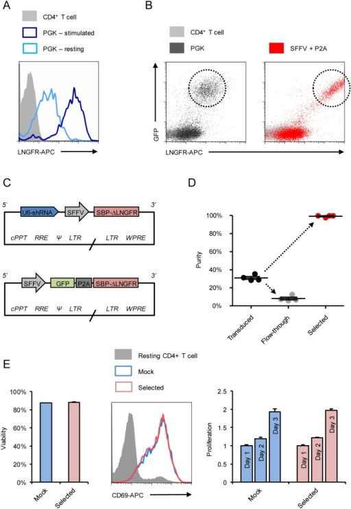 Optimised Antibody Free Magnetic Cell Sorting of primary human CD4+ T cells.Primary human CD4+ T cells were lentivirally transduced with pHRSIREN/β2 m-PGK-SBP-ΔLNGFR-W (encoding shRNA to β2 m and SBP-ΔLNGFR under the PGK promoter) and either rested for 2 weeks (pale blue) or re-stimulated with CD3/CD28 Dynabeads 3 days prior to analysis (dark blue). Cells were co-stained with anti-HLA-A2-PE and anti-LNGFR-APC, and expression levels of SBP-ΔLNGFR compared in HLA-A2-low cells (A). Transduction with pHRSIN-SE-PGK-SBP-ΔLNGFR-W was then compared with pHRSIN-SE-P2A-SBP-ΔLNGFR-W (encoding GFP-P2A-SBP-ΔLNGFR under the SFFV promoter; B). Transduced cells are GFP+/LNGFR-APC+ (dashed circles). Background staining of untransfected/unstransduced controls is shown (grey). Finally, primary human CD4+ T cells were transduced with the optimised pHRSIREN-S-SBP-ΔLNGFR-W and pHRSIN-SE-P2A-SBP-ΔLNGFR-W lentivectors (C) encoding 2 different shRNAs and 2 different exogenous genes. Following selection with Dynabeads Biotin Binder, purity was assessed by staining with anti-LNGFR-PE (D). Each datapoint represents % LNGFR+ for a different construct (shRNA or exogenous gene) and means and SEMs are shown. Viability and functional activity of selected (expressing a control shRNA) and mock (unselected) cells were compared (E). Viability was measured 4 days after selection, and cells either rested or re-stimulated with CD3/CD28 Dynabeads. Resting and re-stimulated cells were stained with CD69-APC (day 2) and enumerated using CytoCount beads (days 1–3). CD69 expression by resting (grey) versus re-stimulated mock (pale blue) and selected (pink) cells is shown. Fold-increases in viable cell numbers following re-stimulation (proliferation) were calculated using day 1 as a baseline. Experiments were conducted in triplicate and means and SEMs are shown. cPPT – central polypurine tract; RRE – Rev response element; * – packaging signal; LTR – long terminal repeat; WPRE – Woodchuck Hepatitis Virus post-transcriptional regulatory element.