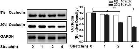 Time course of cyclic stretch-induced degradation of occludin in MLE-12 cells. MLE-12 epithelial cells were exposed to 8% or 20% cyclic stretching for 0, 1, 2, and 4 h. Occludin expression was determined by Western blotting. The density of proteins in 0 h was used as a standard (1 arbitrary unit) to compare relative densities in the other times. **P < 0.05,*P < 0.05, compared with 0 h. Data are representative of 3 independent experiments.