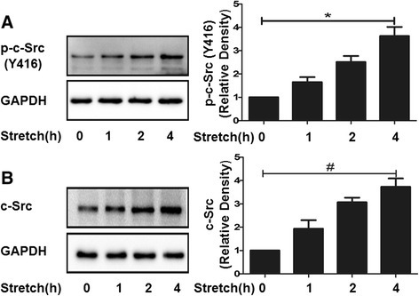 Effect of the expressions of total and phosphorylated c-Src on 20% cyclic stretching. MLE-12 epithelial cells were exposed to 20% cyclic stretching for 0, 1, 2, and 4 h. A and B: Representative Western blotting of total and phosphorylated c-Src expressions, the density of proteins in 0 h was used as a standard (1 arbitrary unit) to compare relative densities in the other times. *P < 0.05, #P < 0.05, compared with 0 h. Data are representative of 3 independent experiments.