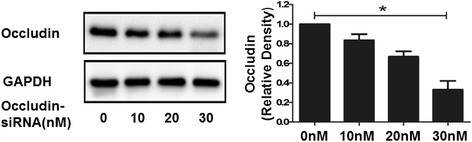 Occluin expression in MLE-12 cells treated by different concentrations of occludin-siRNA. MLE-12 epithelial cell monolayers were incubated with different concentrations. Representative Western blotting of occludin protein expressions and the density of proteins in occludin-siRNA 0nM group was used as a standard to compare relative densities in the other groups. *P < 0.05, compared with the occludin-siRNA 30 nM group. Data are representative of 3 independent experiments.