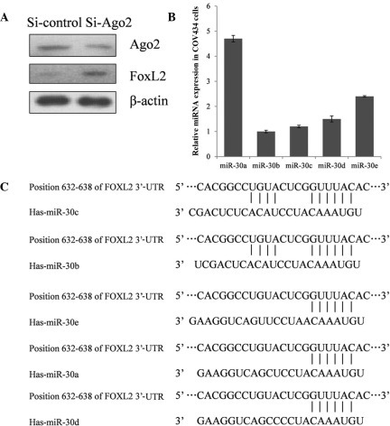 FOXL2 expression was significantly repressed by miRNAs in COV434 cells. (A) FOXL2 expression was upregulated when AGO2 was knocked down; therefore, FOXL2 expression was repressed by endogenous microRNAs. (B) Reverse transcription-quantitative polymerase chain reaction of miR-30a/b/c/d/e expression in COV434 cells revealed that miR-30a is relatively abundant compared with other miR-30 family members. (C) The predicted interactions between miR-30a/b/c/d/e and FOXL2 3′-UTR mRNA. miR/miRNA, microRNA; 3′-UTR; 3′-untranslated region.