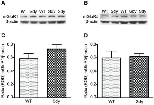 Western blot analysis of hippocampal mGluR1 and mGluR5 protein levels show no significant differences between wildtype (WT) and dysbindin deficient (sdy) animals. Top panel show representative immunoblots of mGluR1 (A), mGluR5 (B) and respective β-actin expression. Lower panel shows relative optical density (ROD) ± SEM (n = 5–6 per genotype) of mGluR1 (C) and mGluR5 (D) normalized to β-actin levels.