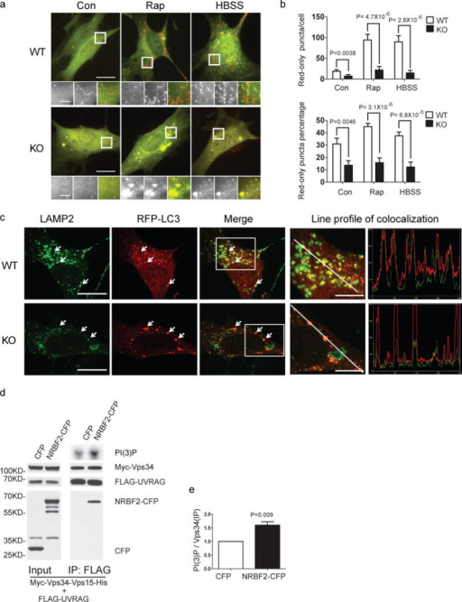 NRBF2 is involved in autophagosome maturation(a) NRBF2 KO MEFs display impaired autophagosome acidification. WT and NRBF2 KO MEFs are transiently transfected with mCherry–GFP–LC3B. WT MEFs expressing mCherry–GFP–LC3B contain many red-only puncta along with yellow (presence of both red and green) puncta. The number of both red-only puncta and yellow puncta dramatically increases after rapamycin (50 μg/ml, 4 hours) or starvation (HBSS, 4 hours) treatment, suggesting the increased autophagolysosomes and nascent autophagosomes. In contrast, NRBF2 KO MEFs expressing mCherry–GFP–LC3B contain quite fewer red-only puncta and yellow puncta, even after rapamycin or starvation treatment. (b) The quantification results show that both the numbers of red-only puncta and percentage of red-only puncta (verses total puncta) in KO MEFs were dramatically reduced (Data shown as mean±SEM, P values are indicated on the figures, Mann–Whitney U test, n=20 randomly selected cells, a representative result from 3 independent repeats), indicating both the autophagolysome number and autophagosome acidification rate are reduced in KO cells. Scale bar, 20μm, or 10 μm (amplified regions). (c) Autophagolysome formation is impaired in NRBF2 KO MEFs. WT and NRBF2 KO MEFs were transiently transfected with RFP–LC3 then stained with LAMP2 antibody. The colocalization between RFP-LC3 and LAMP2 are illustrated by line profile. RFP-LC3 puncta recruit much stronger LAMP2 signal in WT MEFs than in NRBF2 KO MEFs, suggesting the impairment of autophagolysosome formation in KO cells. Scale bar, 20μm, or 10 μm (amplified regions). This is a representative image from 3 independent experiments. (d) Over-expression of NRBF2 enhances UVRAG-linked Vps34 kinase activity. HEK293T cells were co-transfected with Myc-Vps34-Vps15-His and FLAG-UVRAG, in the presence of CFP or NRBF2-CFP. UVRAG-linked Vps34 was pulled down by an anti-FLAG antibody and subjected to kinase assay. IP products and inputs are immunoblotted using the antibodies indicated. (e) Quantification of Vps34 kinase activity normalized with immunoprecipitated Vps34 shows the significant difference between 2 groups (Data shown as mean±SEM, P value is indicated on the figures, one sample t test versus hypothetical mean 1, n=5).