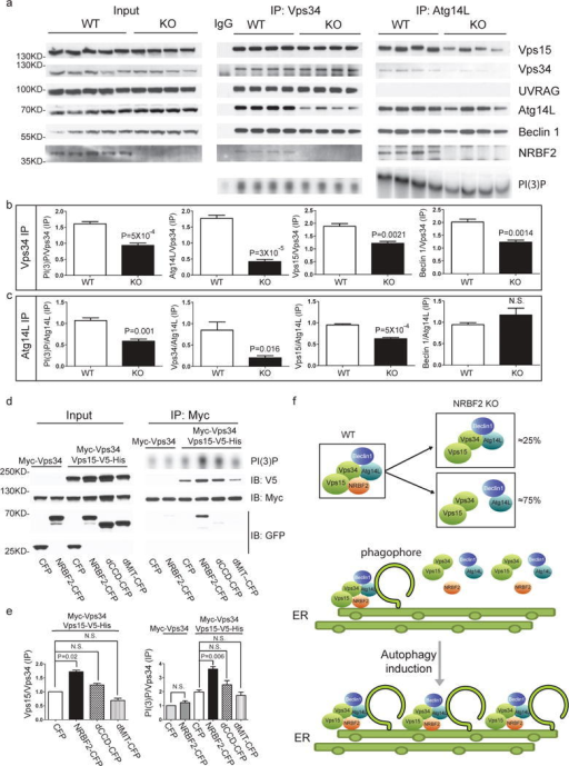Assembly of Beclin 1-Vps34 complex in WT and NRBF2 mice, and schematic model for the NRBF2 function(a) NRBF2 is critical for the assembly of Vps34-Vps15 and Atg14L-Beclin 1 complex. Brain lysate from WT and NRBF2 KO mice were subjected to Co-IP by Vps34 antibody and Atg14L antibody. The IP products were subjected to in vitro lipid kinase assay and Western blotting analysis using the indicated antibodies. (b, c) Quantification results shows that Vps34-Vps15 and Atg14L-Beclin 1 complex interactions as well as Atg14L-linked Vps34 kinase activity are dramatically impaired in NRBF2 KO mice. (Data shown as mean±SEM, P values are indicated on the figures, unpaired Student's t test, n=4 mice in each group). (d) Over-expression of NRBF2 enhances overall Vps34 kinase activity. HEK293T cells were co-transfected with Myc-Vps34-Vps15-His and CFP, NRBF2-CFP, dMIT-CFP or dCCD-CFP. Total Vps34 was pulled down by an anti-myc antibody and subjected to kinase assay. IP products and inputs are immunoblotted using the antibodies indicated. (e) Quantification of IPed Vps34 kinase activity, Vps15 protein normalized with IPed Vps34 shows that NRBF2-CFP, but not CFP, dMIT-CFP or dCCD-CFP significantly enhance Vps34 kinase activity and Vps34-Vps15 interaction. (Data shown as mean±SEM, P values are indicated on the figures. IPed Vps15 / IPed Vps34, one sample t test versus hypothetical mean 1, bonferroni correction, n=3; IPed Vps34 kinase activity / IPed Vps34, multiple t test followed by bonferroni correction, n=3). (f) Schematic model for the NRBF2 function in autophagy. Top: In WT cells, NRBF2 functions to stabilize Beclin 1-Atg14L, Vps34 and Vps15 proteins in the specific autophagy PI3K-III kinase complex. In NRBF2 KO cells, approximately 25% Atg14L remains in the complex with Vps34-Vps15; Middle and bottom: Upon autophagy induction, NRBF2-Atg14L interaction mediates the binding with other components in the cytosol and consequent assembly of a highly active PI3K-III kinase complex at the phagophore, resulting in enhanced autophagy capacity.