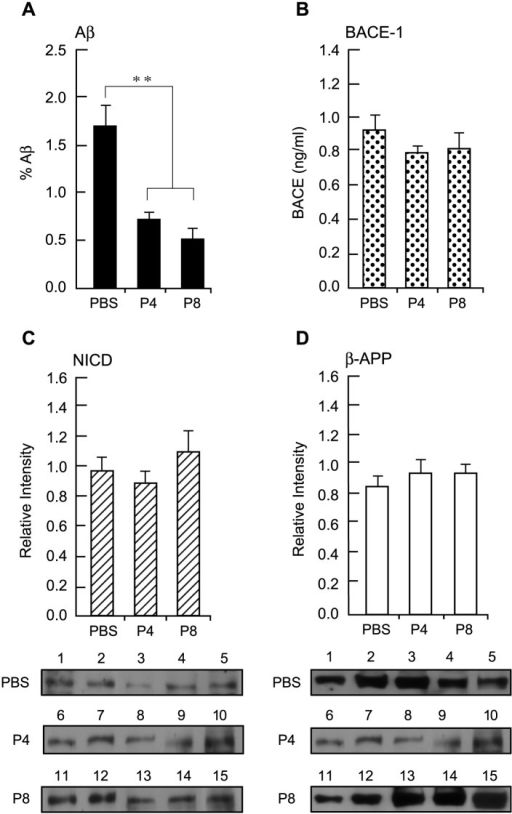 Effect Of Peptides P4 And P8 Treatment On Levels Of Aβ, APP, NICD And BACE-1 In Neocortex Of APP Tg Mice.A. Aβ levels in sections of mouse neocortex that was immunolabeled with a MAb against human Aβ1–16 were quantified as in Fig 2. Data are expressed as mean ±s.e.m. n = 5. ** p <0.005. B. BACE-1 activity in extracts of neocortex of mice treated with peptides P4, P8 and PBS was determined using the SensiZyme BACE1 activity assay kit. Absorbance was monitored at 405 nm. Data are expressed as mean ±s.e.m. of active BACE-1 in ng/ml n = 5. C. Extracts of neocortex of peptide-treated mice were Western-blotted with primary rabbit Ab against NICD followed by HRP-conjugated goat anti-rabbit IgG. Immunoreactive bands were detected by ECL and the signal intensity of the protein bands was quantified. Top: data are expressed as mean ±s.e.m. n = 5. Bottom: The individual Western blot gel images showing immunoreactive bands. D. After NICD detection, the nitrocellulose membranes were stripped and re-probed with a MAb against APP, followed by HRP-conjugated goat anti-mouse IgG. The signal intensity of the protein bands was then quantified. Top: data are expressed as mean ±s.e.m. n = 5. Bottom: The individual Western blot gel images showing immunoreactive bands.