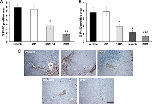 iVR1 inhibited the recruitment of monocyte-macrophages in syngenic and xenograft colorectal tumorsThe area of monocyte-macrophage infiltrate in syngenic (A) and xenograft (B) tumors was determined by immunostaining with anti-F4/80 antibody and calculated on five optical fields for each tumor. Data are represented as the mean ± SEM (N = 7). A, *p < 0.0005 and §p < 0.01 versus vehicle and CP; #p < 0.002 versus 5D11D4. B, *p < 0.0005, §p < 0.005 and #p < 0.05, versus vehicle and CP; #p < 0.05 versus bevacizumab (bevaciz); §p < 0.005 versus 16D3 (anti human PlGF mAb). (C) Representative pictures of F4/80 staining (brown) of HCT-116 tumors. Scale bar, 100 μm.