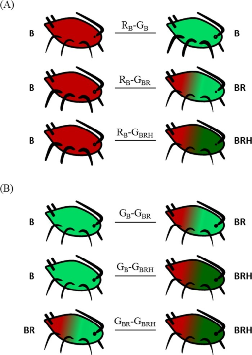 The experimental treatments.The six experimental treatments combining pairs of aphid types in order to test the effects of colour and symbiotic complement on aphid survival under predation pressure. Aphid type was defined as a combination of aphid colour and symbiotype. The aphid survival rate was tested (A) between red and green aphid types with different symbiotic complement and (B) among green types differing by their symbiotic complements. Letters reported in the aphids stand for the symbiotic complement including the obligate symbiont Buchnera (B) and the two facultative symbionts, Rickettsiella (R) and Hamiltonella (H). The name code of each treatment is indicated on the link between considered aphid types (Capital letter: the aphid colour; Subscript letters: symbiotic complement).