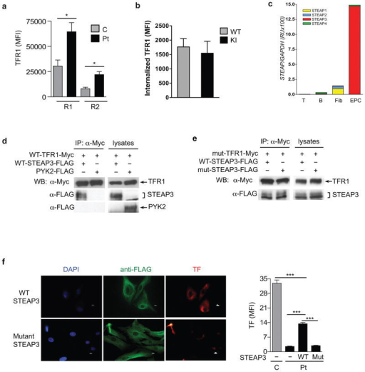 Partial rescue of defective transferrin uptake in patient fibroblasts by STEAP3 expression(a) TfR1 surface expression on glycophorin A (CD235a)+ erythroid precursor cells (EPCs) for early (R1) and intermediate (R2) normoblasts, from Patients A1 and A3 and three controls. (b) Internalization of TfR1 after 30 minutes of TfR1 crosslinking on EPCs from wild type (WT) and TfrcY20H/Y20H (KI) mice. (c) mRNA expression of STEAP genes in cells from three controls. Fib, fibroblasts; EPC, erythroid precursor cells. (d) Co-immunoprecipitation (IP) and western blotting (WB) of Myc-tagged wild type (WT) human TfR1 and FLAG-tagged WT murine STEAP3 or PYK2 (as negative control) in co-transfected in HEK293T cells. Immunoblotting of lysates without IP served as a positive control. (e) Co-immunoprecipitation and western blotting of Myc-tagged mutant TfR1Y20H (mut-TfR1-Myc) and FLAG-tagged WT or mutant STEAP3Y288H (mut-STEAP3-FLAG) co-transfected in HEK293T cells. (f) Alexa 568-labeled transferrin (TF) uptake by patient fibroblasts transfected with WT or mutant STEAP3Y288H, and quantitation of uptake compared to untransfected patient and control fibroblasts, assayed in parallel (n=3 per group). Scale bar: 10 μm. Mut, mutant STEAP3Y288H. Error bars represent means ± SEM; *P<0.05, ***P<0.001.