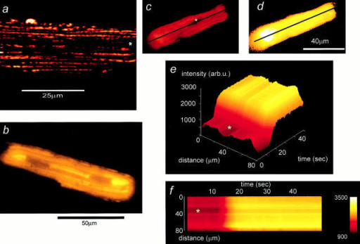 "An increase of TMRE fluorescence signals depolarization of Δψm in a single cardiomyocyte. (a) High-resolution image taken  from a cardiomyocyte loaded with TMRE using a confocal imaging system (excitation at 543 nm). The discrete localization of signal to  mitochondria and the distribution of mitochondria in bands running along the longitudinal axis of the cell is clear. The asterisks in this  and the following panels indicate the position of the nucleus. (b) CCD image of a similar cell. The longitudinal distribution of mitochondria is still evident, despite the loss of resolution. c and d show images of a TMRE-loaded cell before (c) and after (d) application of the  uncoupler, FCCP (1 μM). The plot shown in e (a surface plot) and the corresponding ""line image"" shown in f were obtained from the pixel  values extracted from the image series along the line drawn along the axis of the cell as shown in c and d, and they illustrate the evolution of the response to FCCP with time. In response to FCCP, the TMRE signal increased approximately threefold in this cell."
