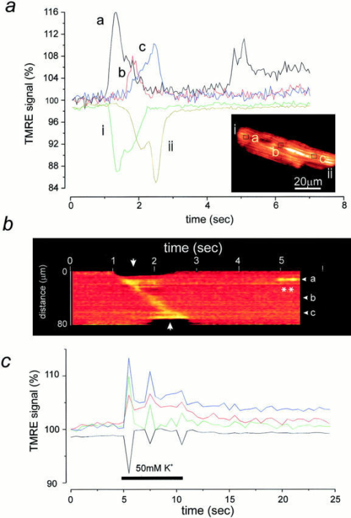 Contractile waves  are associated with waves of  mitochondrial depolarization.  (a) A spontaneous contractile wave propagating across  the cell (inset) was associated  with a propagating wave of  mitochondrial depolarization  that coincided with the contraction. The intensity of signal at the areas indicated on  the image are shown as a  function of time. Note that  the decrease in signal at the  cell edges (i and ii) due to the  contraction coincided well  with the increased signal  seen at the corresponding  part of the cell. In addition,  at position a, a doublet of  brief transient events were  seen later in the image sequence. It is noteworthy that  these had a similar amplitude  as the transient associated  with the contraction. In b, a  line image is shown to further illustrate the spatial  characteristics of the propagation of the wave of mitochondrial depolarization, seen  here as an increase in signal  that moves diagonally across  the image, starting at one  edge of the cell (the upper  boundary of this image) and  moving towards the other  (at the lower edge of this sequence). The transient events  seen later (position a) are indicated here as well (asterisks). In c, a plot of intensity  with time is shown to illustrate the time course of the  mitochondrial response to  depolarization of a cell with  50 mM KCl (applied for the  period indicated by the white  bar). The depolarization  caused a series of diminishing  twitches, each of which was  associated with mitochondrial  depolarizations. Note also  that the largest twitch was associated with the largest increase in TMRE signal.