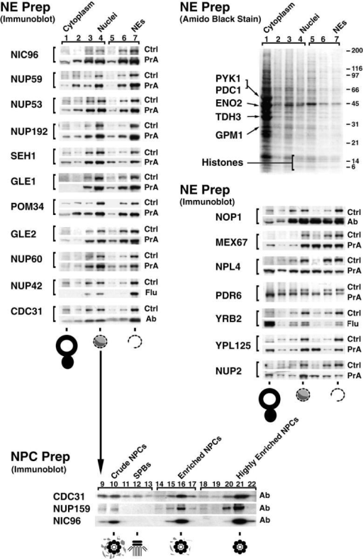 Relative distribution of tagged proteins in subcellular fractions. (Top right) Cells from the Nup42p Flu-tagged strain were fractionated and the proteins from each fraction were separated by SDS-PAGE and visualized by amido black. Lanes 1–4 were loaded at one cell equivalent and lanes 5–7 were loaded at three cell equivalents. Fraction 1 contains cytoplasmic material, 2 and 3 contain membranes, and 4 contains mainly nuclei. The nuclei were subjected to a second round of fractionation to obtain the two chromatin fractions 5 and 6, and fraction 7 enriched in NEs. The majority of proteins, including the indicated abundant cytoplasmic markers (Pyk1p, Pdc1p, Eno2p, Tdh3p, and Gpm1p) identified by mass spectrometry did not coenrich with the nuclei or the NEs. The histone triplet at ∼14 kD coenriched with nuclei but not NEs. (Top left) Proteins that cofractionate with NEs. Fractions from the same enrichment procedure for various tagged strains were probed for the internal standard Pom152p (Ctrl) and the protein of interest, mostly through a protein A tag (PrA). In a few cases, a FLU tag (Flu) or a monospecific antibody (Ab) was used. As expected, known nups coenriched with the NE-containing fractions, as did the newly identified Nup60p, Nup192p, and Pom34p. Seh1p, Gle1p, Gle2p, and Nup42p/Rip1p also coenriched with NEs, securing the classification of these proteins as nups. (Middle right) Proteins that do not cofractionate with NEs. Mex67p coenriched mainly with nuclei and partially with NEs, but a significant amount remained in the nucleoplasm in agreement with its recent classification as an important new mRNA export factor (Katahira et al. 1999). Similarly, both Pdr6p/Kap122p and Ypl125p/Kap120p showed a partial association with the highly enriched NEs during fractionation which, taken together with the immunofluorescence microscopy data, confirmed them as karyopherins. Neither Yrb2p nor Nup2p, which are closely related to each other at the primary sequence level, cofractionated with the NPC-containing fractions. Yrb2p is now known not to be a nup (see Fig. 4), but the significant amount of Nup2p remaining with the NE fraction points to a strong association with the NPCs. As Npl4p did not cofractionate with NPCs (and showed no NPC association by immunofluorescence microscopy; Fig. 4), we concluded that it is not a strongly bound component of the NPC. (Bottom) Nuclei were separated into fractions containing spindle pole bodies (SPBs), crude NPCs, enriched NPCs, and highly enriched NPCs; fraction numbers are as previously described (Rout and Kilmartin 1990). Cdc31p, which coenriched with the Pom152p control in the NE preparation, also cofractionated with Nic96p and Nup159p, two previously known nucleoporins, in the highly enriched NPC preparation, which allowed us to characterize Cdc31p as a component of the NPC. However, unlike the controls, significant amounts of Cdc31p were found in the SPB fraction. Cdc31p had given SPB staining plus some peripheral nuclear signal by immunofluorescence microscopy (Biggins and Rose 1994). Thus, Cdc31p appears to be present in both NPCs and SPBs, behaving in a similar fashion to Ndc1p (Chial et al. 1998).