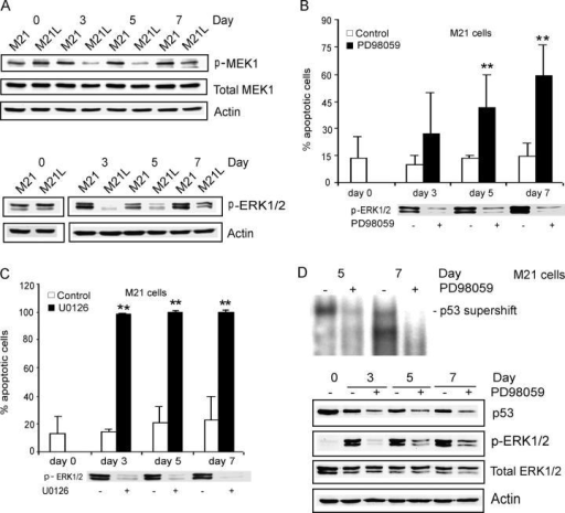 Integrin αv-dependent MEK1 activity is required for melanoma cell survival in 3D-collagen. (A) M21 (αv+) cells and M21L (αv−) cells were cultured under 2D conditions (d 0) and within 3D-collagen for the indicated times. The levels of active MEK1 and ERK1/2 as well as of total MEK1 and ERK1/2 were detected by Western blotting, with actin as control and the displayed blots are representative among five experiments. (B and C) M21 (αv+) cells within 3D-collagen were treated with the MEK1 inhibitors PD98059 (B) and U0126 (C) or DMSO as a vehicle control. Annexin-V staining detected apoptosis and the bar graphs show the mean ± SD of apoptotic cells among three independent experiments (** −P < 0.01, as compared with vehicle control using unpaired two-tailed t test). Phosphorylated ERK1/2 was detected by Western blotting to control for the suppressive effect of the MEK1 inhibitors. (D) p53 DNA-binding activities were detected by EMSA and p53 protein levels determined by Western blotting in M21 (αv+) cells treated with PD98059 within 3D-collagen for 3–7 d. Phosphorylated ERK1/2 was detected to monitor the inhibitory effect of PD98059, and total ERK1/2 and actin levels were analyzed as controls. Note that the exposure time in this EMSA was longer than for EMSAs displayed in other figures (Fig. 2, B and D).