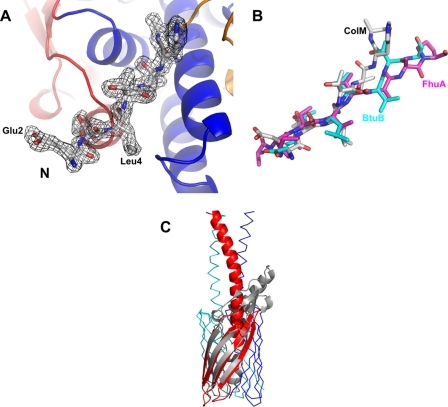 Similarities of colicin M to other protein structures. A, simulated annealed 2Fo - Fc map of the N-terminal TonB-box domain. B, superposition of the N termini of colicin M (white), FhuA (magenta; in complex with a TonB fragment; PDB entry 2GRX), and BtuB (cyan; in complex with a TonB fragment; PDB entry 2GSK). C, superposition of the C-terminal domain of colicin M (gray) with the membrane-spanning part of the outer membrane transporter Hia of H. influenzae (red, blue, and green) (39).