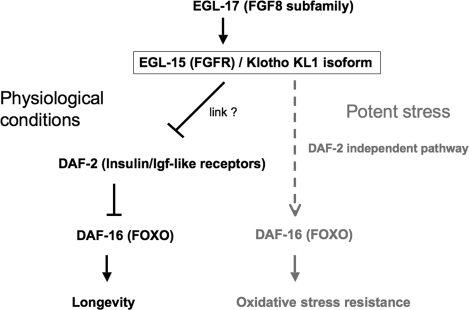 In adult worms the FGFR EGL-15(5A) targeted for activation by the Klotho KL1 isoform can allow EGL-17 ligand binding. Under physiological conditions, the Klotho/EGL-15/EGL-17 complex constitutively represses the DAF-2 (Insulin/Igf-like) receptors by a still unknown pathway. Such complexes may induce DAF-16 (FOXO) de-repression and subsequent overexpression of longevity factors, such as antioxidant enzymes. When worms have to cope with a potent stress, the Klotho/EGL-15/EGL-17 complex may directly activate DAF-16 by a DAF-2-independent pathway (dashed line). Such activation mechanism remains to be elucidated.