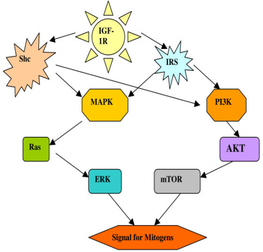 IGF-IR downstream signal transduction. The activated IGF-IR initiates signalling through two separate connections, the insulin receptor substrate (IRS) and the Shc proteins. Both IRS and Shc proteins can in turn activate both MAP Kinase (MAPK) and PI3 kinase (PI3K) pathways. MAPK pathway leads to activation of Ras and then ERK, and PI3K pathway activates AKT/mTOR, both then stimulate signals for mitogens.