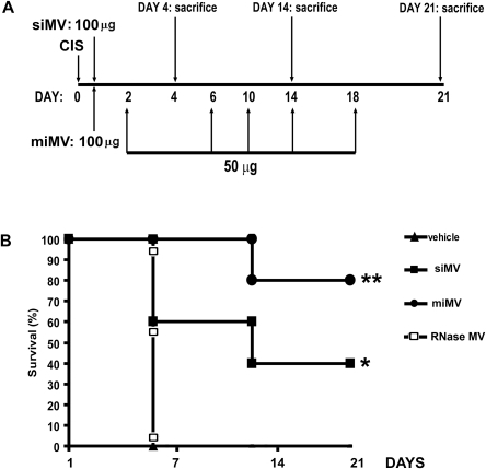 Schematic representation of the protocol of cisplatin induced AKI and MV administration regimens and survival curves.A) Graph showing time-points of cisplatin administration, siMVs or miMVs and the time-points of sacrifice. B) Survival curves of SCID mice with cisplatin induced AKI treated with different regiments of MVs administration. All mice receiving vehicle alone died within 5 days. Mice that received siMVs or miMVs injections survived significantly longer than control mice treated with vehicle alone or with a si(RNase-inactivated)MVs. Data was analysed via a log-rank test: * p<0.05 siMV vs CIS; ** p<0.05 miMV vs siMV. Abbreviations: vehicle = cisplatin treated mice injected with vehicle alone; siMV = cisplatin treated mice with single injection of MVs; miMV = cisplatin treated mice with multiple injection of MVs; RNase MV = cisplatin treated mice injected with a single dose of MVs pre-treated with RNase.