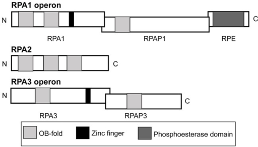 Operon and domain structures of H. volcanii single-stranded DNA-binding proteins. Genes for RPA1 and RPA3 are in operons with genes for RPA-associated proteins, RPAP1 and RPAP3, respectively. The gene for RPA1 phosphoesterase (RPE) is present in the rpa1 operon. Domains (not to scale) comprising OB-folds, zinc fingers and a phosphoesterase motif are shown.