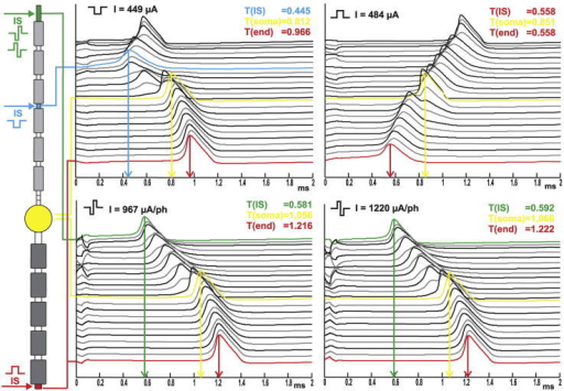 Spike initiation sites depend on stimulus pulse type. The left side illustrates the compartment model of a target neuron with spike origin (horizontal arrows) at threshold for four different pulses. Stimulating electrode E1. Traveling APs are plotted at the right. Each line represents the temporal change in transmembrane potential. The top line is the neurons peripheral end, the soma is always plotted in yellow. The values for the time at which the spike occurs at the IS, the soma and the end of the model neuron are given in ms and they are marked by vertical arrows.