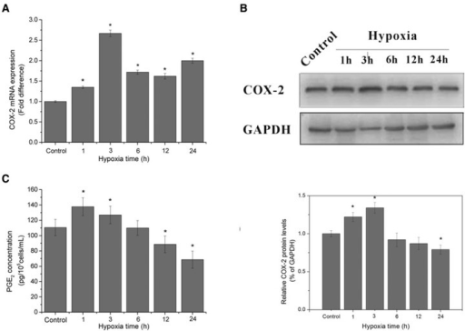 COX-2 mRNA level, protein expression and PGE2 accumulation in supernatant under hypoxic exposure. (A) The mRNA levels of COX-2 at different hypoxic time points. 2−ΔΔCt values were obtained by real-time RT-PCR analysis using GAPDH transcripts for the normalization. (B) The protein expression of COX-2 at different hypoxic time points by Western blotting analysis, the blots and the bar chart below are in one label. (C) Quantification of PGE2 by ELISA assay in supernatant of HUVECs after various periods of hypoxic treatment, the data are expressed in concentration of PGE2. *P < 0.05 versus control group.