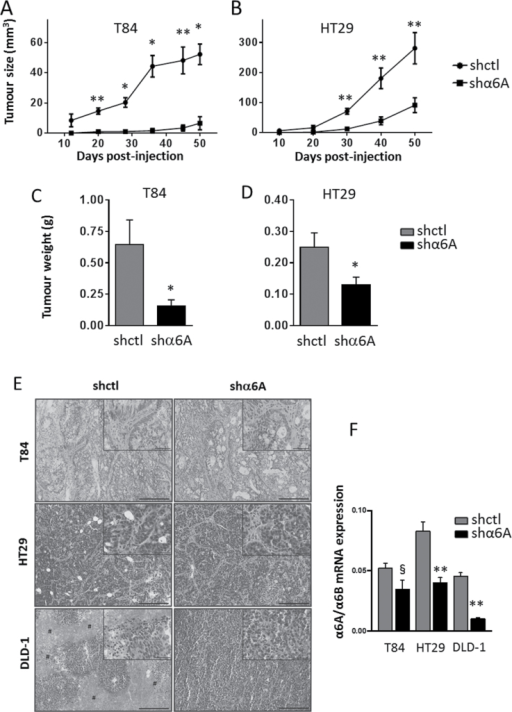 Knockdown of α6A variant in human CRC cells inhibits their growth in xenografts. (A and B) Tumour growth (mm3) following subcutaneous injection of 2×106 T84 and HT29 stably expressing shα6A and shctl cells into nude mice. Tumour volumes were determined by external measurement [V = (d2 × D)/2]. (C and D) Weight (g) of tumours from T84 and HT29 shctl and shα6A cells at the time of killing. Statistical analysis between shctrl and shα6A: *P ≤ 0.05, **P ≤ 0.01, t-test, n = 4. (E) Representative haematoxylin and eosin staining images for T84, HT29 and DLD-1 shctl and shα6A xenograft tumours. Scale bars = 200 μm for main panels and 50 μm for inserts. Hash symbols denote necrosis/oedema regions. (F) qPCR analyses for the expression of α6A and α6B transcript levels in xenograft tumours from T84, HT29 and DLD-1 shctl and shα6A cells. Data are expressed by α6A normalized to α6B levels. **P ≤ 0.01, §P = 0.0783, t-test, n = 4.