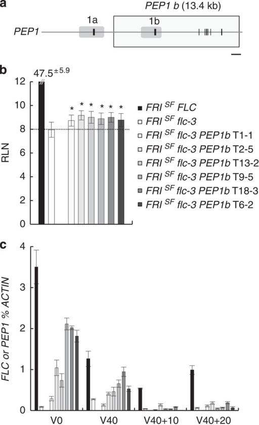 Transcriptional activity of PEP1b in A. thaliana FRISFflc-3 PEP1b transgenic plants.(a) Schematic representation of PEP1 locus represented as described in Fig. 2a. The rectangle indicates the extent of 13.4 kb PEP1b transgene transferred into A. thaliana FRISFflc-3 plants. Scale bar, 1 kb. (b) Flowering times of A. thaliana FRISFflc-3 PEP1b independent transformants, FRISFflc-3 parental line and FRISFFLC control line as measured by rosette leaf number (RLN) at bolting±s.d. (n=9–23 individuals). Asterisks indicate flowering time statistically different from the one of FRISFflc-3 plants (Student's t-test, P value <0.005). (c) PEP1b mRNA levels in A. thaliana FRISFflc-3 PEP1b independent transformants and FLC mRNA levels in the parental FRISFflc-3 line and the control FRISFFLC line. Time points are before vernalization (V0), after 40 days of vernalization (V40), as well as after 40 days of vernalization followed by 10 or 20 days of growth at normal growth temperatures (V40+10 and V40+20). Transcript levels were measured by RT–qPCR relative to those of the reference gene ACTIN±s.d. (n=3 technical replicates). Panels b and c share colour-code legends.
