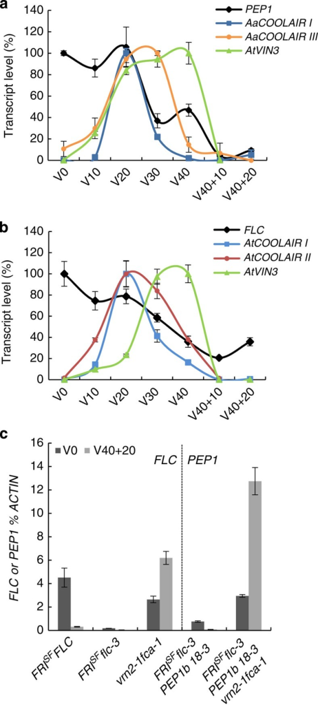 Epigenetic control of PEP1b in Arabidopsis FRISFflc-3 PEP1b transgenic plants.(a) PEP1b, AtVIN3 and AaCOOLAIR I and III expression in FRISFflc-3 PEP1b 18-3 transformant before vernalization (V0) after 10, 20, 30 or 40 days of vernalization (V10, V20, V30 or V40) and after 40 days of vernalization followed by 10 or 20 days of growth in normal temperature (V40+10, V40+20). (b) FLC, AtVIN3, AtCOOLAIR I and II expression in FRISFFLC control plants during the vernalization time course described in a. In a and b mRNA levels were measured by RT–qPCR relative to those of the reference gene ACTIN±s.d. (n=3 technical replicates) and presented relative to the maximum level of expression of each gene, which is set as 100%. (c) PEP1b mRNA level before vernalization (V0) and after 40 days vernalization followed by 20 days of growth at normal temperature (V40+20) in FRISFflc-3 PEP1b 18-3 parental line and FRISFflc-3 PEP1b 18-3 vrn2-1 fca-1 plants. PEP1b mRNA level is compared with FLC mRNA in FRISFFLC, FRISFflc-3 and vrn2-1 fca-1 plants. mRNA levels were measured by RT–qPCR relative to those of the reference gene ACTIN±s.d. (n=3 technical replicates).