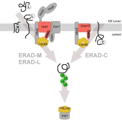 Distinct endoplasmic reticulum-associated degradation (ERAD) pathways. Three main ERAD pathways in yeast are classified based on substrates and the components that are involved in their degradation. ERAD-L degrades membrane integrated or soluble proteins with misfolded domains in the ER lumen, marked with (L). All depicted constituents of the Hrd1-complex are required for the efficient degradation of these substrates. ERAD-M degrades membrane integrated proteins with misfolded regions in their transmembrane domain(s), marked with (M). Proteins of this class are degraded via the Hrd1-complex but do not require Usa1p and Der1p for efficient degradation. ERAD-C degrades membrane integrated proteins with misfolded domains in the cytoplasm, marked with (C). These proteins are degraded via the Doa10-complex. All ERAD pathways require cytosolic Cdc48p for substrate retrotranslocation and extraction from the ER membrane. The substrate is ubiquitinated by the E3 ligases during or after retrotranslocation and is targeted to the proteasome (PRT) for degradation. Cdc48p and the 19S cap of the proteasome have structural and functional similarities. The classification for the different ERAD pathways also exists in mammalian cells albeit it is less stringent. RING = RING domain of the E3 ligases that are shown in red. The associated constituents of the individual complexes are shown in grey. Ub = ubiquitin. See text for details.