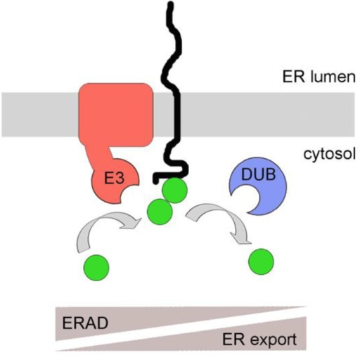 A model for poly-ubiquitin chain (PUC) processing as a mechanism for coupling ER protein quality control with ERAD. Membrane proteins with exposed cytosolic domains are ubiquitinated by E3 ligases. Due to topological confinement of membrane proteins and membrane integrated E3 ligases to the same bilayer, ubiquitination might occur frequently, even on correctly folded proteins. DUBs can remove ubiquitins, favoring ER export of correctly folded species. Reoccurring ubiquitination due to prolonged ER retention as a result of misfolding (in the cytosol or ER lumen) will favor the assembly of PUCs to induce targeting to the proteasome, thereby favoring ERAD. A similar mechanism might occur for soluble proteins prior to their post-translational translocation across the ER membrane, a pathway called prERAD. See text for details. E3 = E3 ligase. DUB = deubiquitinase. Filled green circles: ubiquitin.